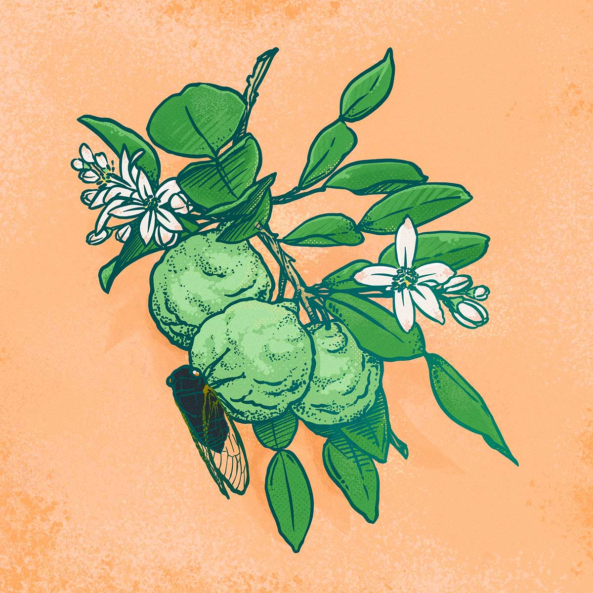Illustration by Brittany Norris of kaffir lime and cicada